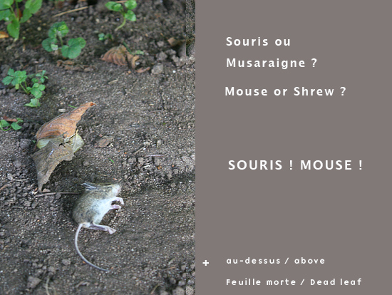 Lolly-souris-musa.jpg